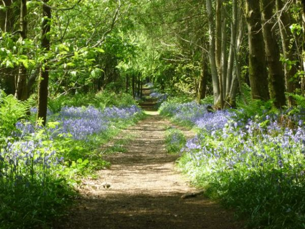The bluebell wood above our cottage.